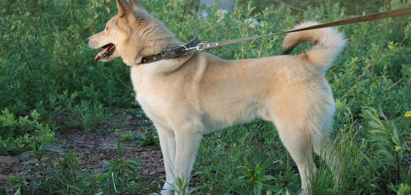 Il nostro cane perde equilibrio Attenzione alla sindrome vestibolare