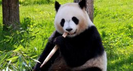 Sapete che il Panda simbolo della Cina