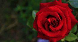 Quando meglio piantare le rose
